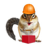 与雷管和安全帽,爆破co的滑稽的动物花栗鼠 库存照片