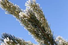 与霜云杉的树分支 库存照片