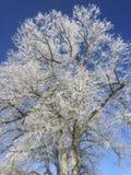 与霜和蓝天的冬天树 库存图片