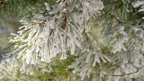 与霜的杉木分支 股票视频