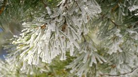 与霜的杉木分支 股票录像