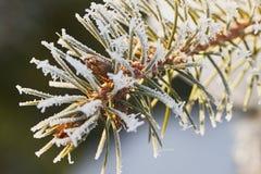 与霜的杉木分支 库存图片