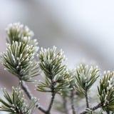 与霜的杉树特写镜头 免版税库存图片