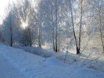 与霜的桦树 库存图片