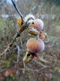 与霜的美丽的臀部在秋天,立陶宛 库存图片