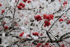 与霜的花揪 免版税图库摄影
