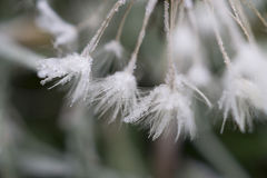 与霜的蒲公英 免版税库存照片