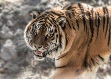 与露出牙的老虎在石背景自白天 图库摄影