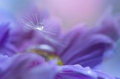 与露水下落的一颗蒲公英种子在一朵紫色花的 书刊上的图片 选择聚焦 库存图片
