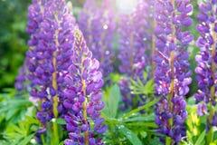 与露水下落的开花的紫色羽扇豆在一个晴朗的夏日 库存照片
