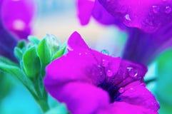 与露水下落的紫罗兰色喇叭花早晨 库存图片