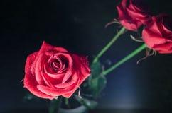 与露水下落的红色玫瑰在神秘的蓝色背景的 免版税库存照片