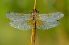 与露水下落的蜻蜓在翼的 库存照片