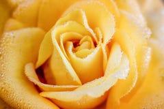 与露水特写镜头, design_的样式下落的黄色玫瑰  免版税库存照片