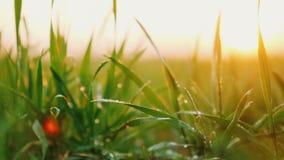 与露水的年轻麦子新芽在他们在风的摇动 影视素材