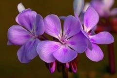与露水的紫罗兰色天竺葵早晨 库存图片