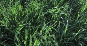 与露水的草坪草 股票录像
