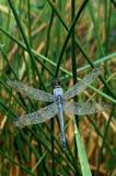 与露水的蓝色蜻蜓 免版税图库摄影