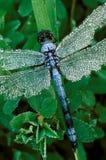 与露水的蓝色蜻蜓 库存图片