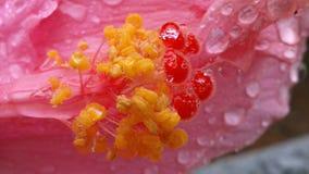与露水的郁金香 库存图片