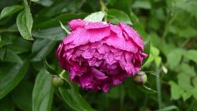 与露滴在雨以后,美丽的花的红色牡丹花在公园 股票录像