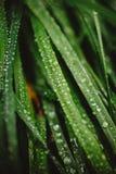 与露滴的新鲜的厚实的草 库存图片