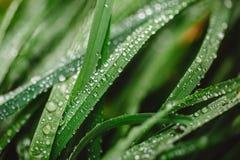与露滴的新鲜的厚实的草 免版税库存照片
