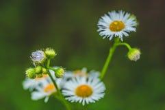 与露滴的新鲜的在草甸特写镜头的绿草和雏菊 防御cesky遗产krumlov季节春天查看世界 自然本底 免版税库存照片