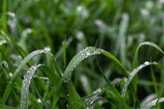 与露滴的新鲜的绿草关闭  在雨以后浇灌在新鲜的草的driops 在草的轻的早晨露水 图库摄影