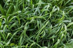 与露滴的新鲜的绿草关闭  在雨以后浇灌在新鲜的草的driops 在草的轻的早晨露水 免版税库存照片