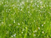 与露滴的草地早熟禾在阳光,被弄脏的背景,在雨以后,特写镜头 库存照片