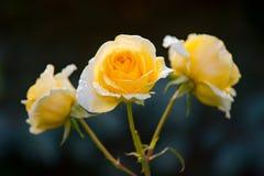 与露滴的黄色玫瑰在夏天晴朗的早晨日出 免版税库存照片