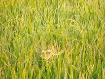 与露珠的一张蜘蛛网在绿草 库存照片