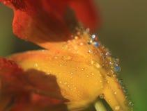 与露珠的橙色花,所有自然本底宏指令 库存照片