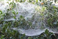 与露珠的蜘蛛网在冬青树的黎明 库存照片
