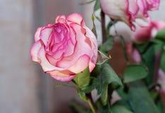 与露水下落的桃红色玫瑰  库存图片