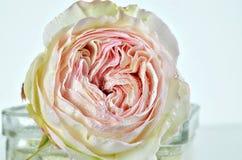 与露水在花瓶,细节的白色和桃红色罗斯花 免版税库存图片