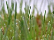 与露水宏指令的发芽的麦子 库存图片