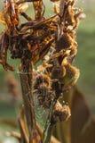 与露水小滴的蜘蛛网在它捉住了 免版税库存照片