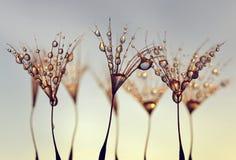 与露水早晨下落的蒲公英种子  库存图片