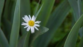 与露水特写镜头的开花的春黄菊 库存照片