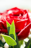 与露滴的新鲜的红色玫瑰花 免版税库存图片
