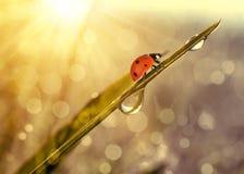 与露滴的新鲜的草和瓢虫 图库摄影