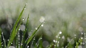 与露滴的新鲜的绿色春天草 影视素材