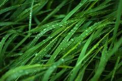 与露滴的新鲜的绿草关闭  免版税库存图片