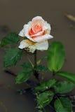 与露滴的桃红色玫瑰 免版税库存照片