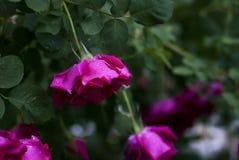 与露滴的桃红色玫瑰 库存图片