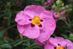 与露水的桃红色花 免版税库存照片