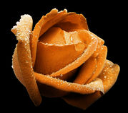 与露水的桔子玫瑰色花 侧视图 黑色与裁减路线的被隔绝的背景 特写镜头 没有影子 免版税库存图片