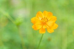 与露滴的橙色波斯菊花在模糊的绿色背景 免版税库存照片